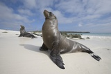 Galapagos Sea Lions Photographic Print by Paul Souders