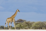 Giraffe in Etosha National Park Photographic Print by Paul Souders
