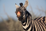 Plains Zebra Baring its Teeth Photographic Print by Paul Souders