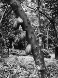 Cacao Trees in Plantation Fields Photographic Print