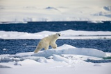 Polar Bear on Iceberg in Svalbard Islands Photographic Print by Paul Souders
