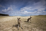 Eastern Gray Kangaroos on Beach in Murramarang National Park Photographic Print by Paul Souders
