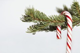 Candy Cane Hanging on Christmas Tree Branch Reproduction photographique par Monalyn Gracia