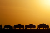 Wildebeest Migrating in Masai Mara National Reserve Photographic Print by Paul Souders