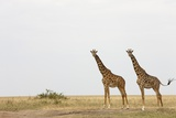 Giraffes in Masai Mara National Reserve Photographic Print by Paul Souders