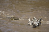 Nile Crocodile Hunting Zebra Crossing River in Masai Mara, Kenya Photographic Print by Paul Souders