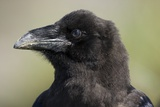 Raven at Hallo Bay in Katmai National Park Photographie par Paul Souders