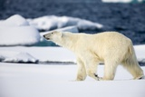 Polar Bear on Snow Covered Iceberg at Spitsbergen Photographic Print by Paul Souders
