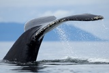 Sounding Humpback Whale, Alaska Photographic Print by Paul Souders