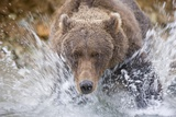 Grizzly Bear Hunting Spawning Salmon in Stream at Kinak Bay Photographic Print by Paul Souders
