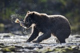 Brown Bear Fishing for Salmon in Alaska Photographic Print by Paul Souders