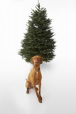 Dog Sitting in Front of Christmas Tree Photographic Print by Ned Frisk