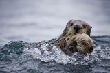 Sea Otter with Pup in Kukak Bay Photographic Print by Paul Souders