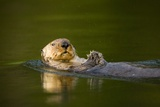 Sea Otter in Afognak Bay at Kodiak Island Photographic Print by Paul Souders