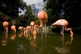 American Flamingos at Ardastra Gardens, Zoo, and Conservation Center Photographic Print by Paul Souders