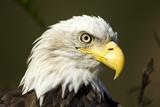 Bald Eagle, Alaska Photographic Print by Paul Souders