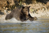 Grizzly Bear Hunting Spawning Salmon in River at Kinak Bay Photographic Print by Paul Souders