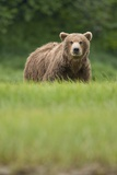 Grizzly Bear in Meadow at Kukak Bay in Katmai National Park Photographic Print by Paul Souders