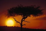 Acacia Tree at Sunset Photographic Print by Paul Souders