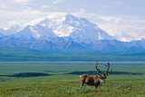 Caribou Below Mckinley Photographic Print by Paul Souders