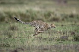 Adolescent Cheetah Cub Running in Masai Mara National Reserve Photographic Print by Paul Souders