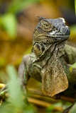Green Iguana, Costa Rica Photographic Print by Paul Souders