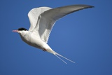 Arctic Tern in Flight Photographie par Paul Souders