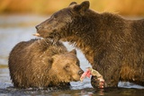 Grizzly Bear Mother and Two Year Old Eating Salmon Photographic Print by Paul Souders
