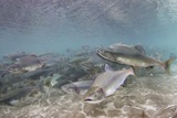 Spawning Salmon at Kinak Bay in Katmai National Park Photographic Print by Paul Souders
