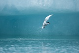 Arctic Tern Fishing in Jokulsarlon Lake Photographie par Paul Souders