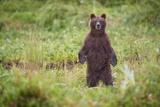 Brown Bear in Coastal Meadow in Alaska Photographic Print by Paul Souders