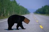 Black Bear Crossing Highway Photographic Print by Paul Souders