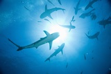 Scuba Diver and Caribbean Reef Sharks at Stuart Cove's Dive Site Photographic Print by Paul Souders