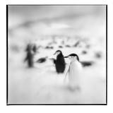 Chinstrap Penguins, Antarctica Reproduction photographique par Paul Souders