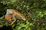 Green Iguana in a Tree in Costa Rica Photographic Print by Paul Souders