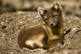 Arctic Fox Resting on Edgeoya Island Photographic Print by Paul Souders