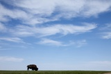 American Bison in Badlands National Park Photographic Print by Paul Souders