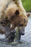 Brown Bear Fishing in Salmon Stream in Alaska Photographic Print by Paul Souders