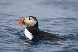 Atlantic Puffin Swimming Photographic Print by Paul Souders