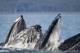 Humpback Whales Feeding in Icy Strait Photographic Print by Paul Souders