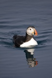 Atlantic Puffin Swimming in the Svalbard Islands Photographic Print by Paul Souders
