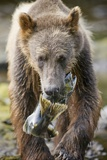 Brown Bear Carrying Salmon in Alaska Photographic Print by Paul Souders