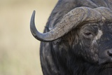 African Buffalo in Masai Mara National Reserve Photographic Print by Paul Souders