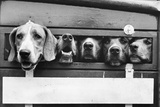 Foxhounds in a Trailer Papier Photo
