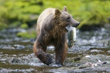 Brown Bear Catching Sockeye Salmon in Alaska Photographic Print by Paul Souders