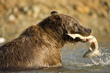 Grizzly Bear Catching Spawning Salmon at Kinak Bay Photographic Print by Paul Souders