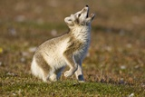 Arctic Fox Kit Playing on Tundra on Edgeoya Island Photographic Print by Paul Souders