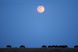 Wildebeest Below Full Moon in Masai Mara National Reserve Photographic Print by Paul Souders