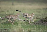 Adolescent Cheetah Cubs Chasing Each Other Photographic Print by Paul Souders