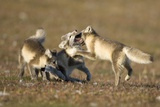 Arctic Fox Kits Playing on Tundra on Edgeoya Island Photographic Print by Paul Souders